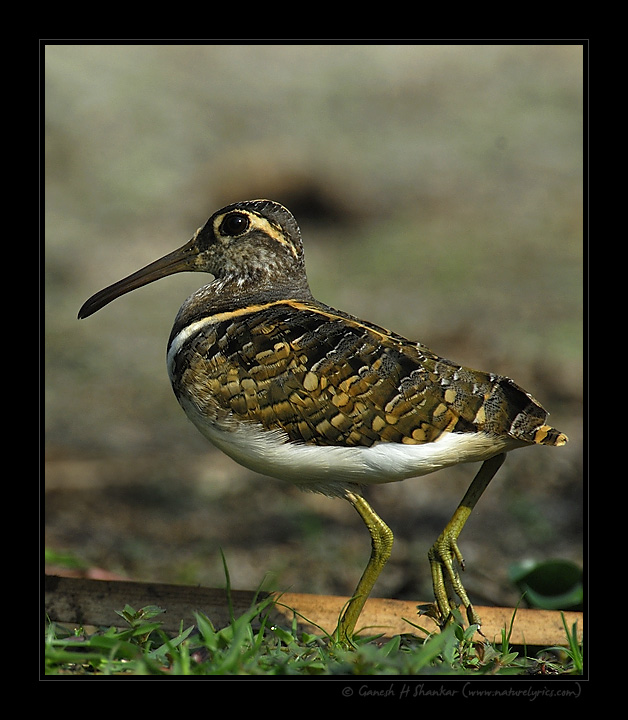 Painted Snipe | Fine Art | Creative & Artistic Nature Photography | Copyright © 1993-2017 Ganesh H. Shankar
