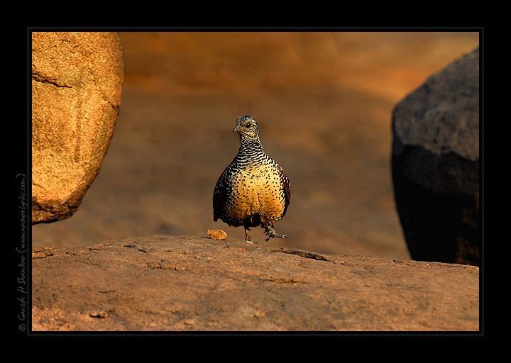 Painted Spurfowl | Fine Art | Creative & Artistic Nature Photography | Copyright © 1993-2017 Ganesh H. Shankar