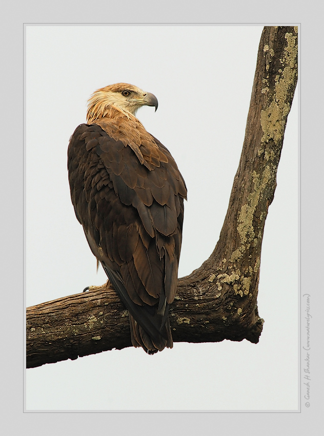 Pallas's Fish Eagle, Corbet National Park, India | Fine Art | Creative & Artistic Nature Photography | Copyright © 1993-2017 Ganesh H. Shankar