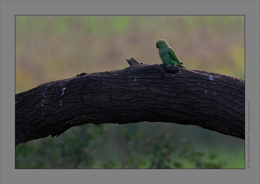 Alexandrine Parakeet in Nature | Fine Art | Creative & Artistic Nature Photography | Copyright © 1993-2017 Ganesh H. Shankar
