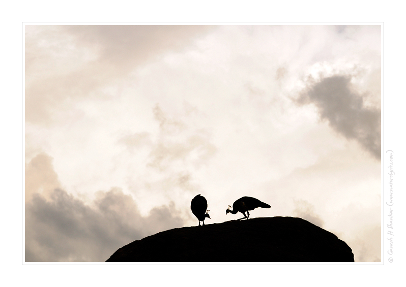 Peafowls on Stone, Daroji Bear Sanctuary | Nature Image | Nature Photography | Photo | Nature Pictures