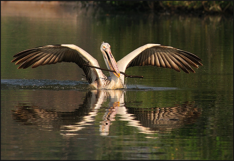 Spot billed pelican picking nesting material at Ranganathittu Bird Sanctuary, India | Fine Art | Creative & Artistic Nature Photography | Copyright © 1993-2017 Ganesh H. Shankar