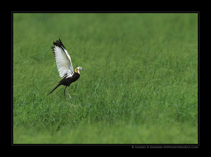 Pheasant Tailed Jacana in Flight.  | Fine Art | Creative & Artistic Nature Photography | Copyright © 1993-2016 Ganesh H. Shankar