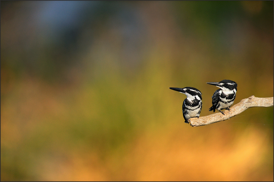 Colors - Two Pied Kingfishers,Ranganathittu Bird Sanctuary, India | Fine Art | Creative & Artistic Nature Photography | Copyright © 1993-2017 Ganesh H. Shankar