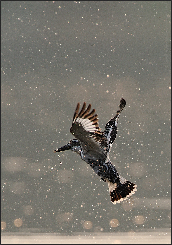 Catch - Pied Kingfisher, Ranganathittu Bird Sanctuary, India | Fine Art | Creative & Artistic Nature Photography | Copyright © 1993-2017 Ganesh H. Shankar