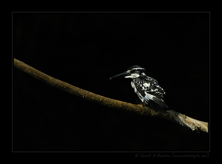 Pied Kingfisher - a portrait. | Fine Art | Creative & Artistic Nature Photography | Copyright © 1993-2017 Ganesh H. Shankar