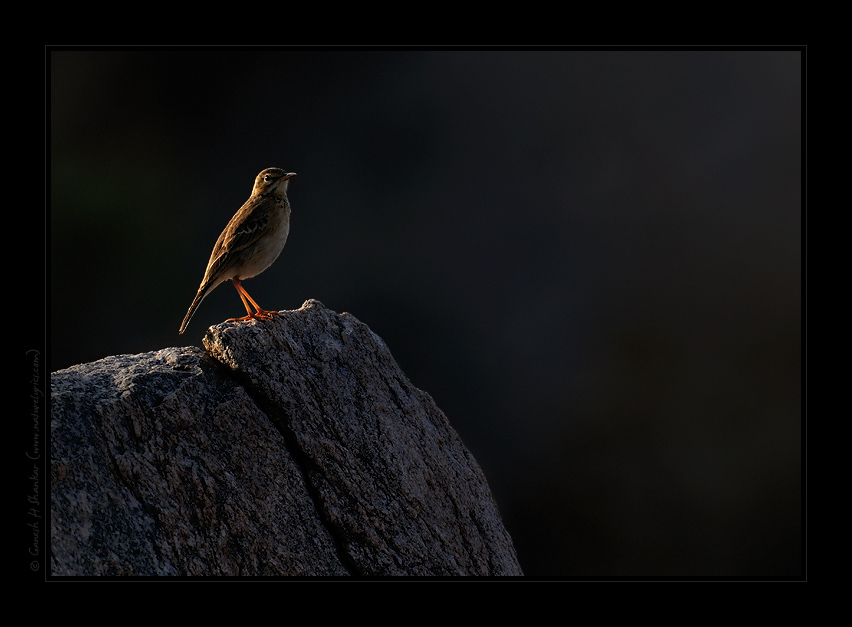 Pipit - backlit | Fine Art | Creative & Artistic Nature Photography | Copyright © 1993-2017 Ganesh H. Shankar