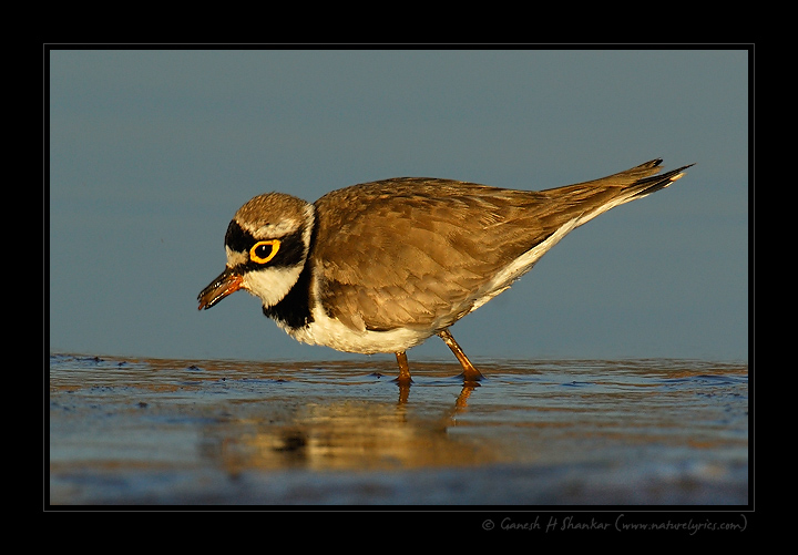 Little Ringed Plover - Mouthful  | Fine Art | Creative & Artistic Nature Photography | Copyright © 1993-2017 Ganesh H. Shankar