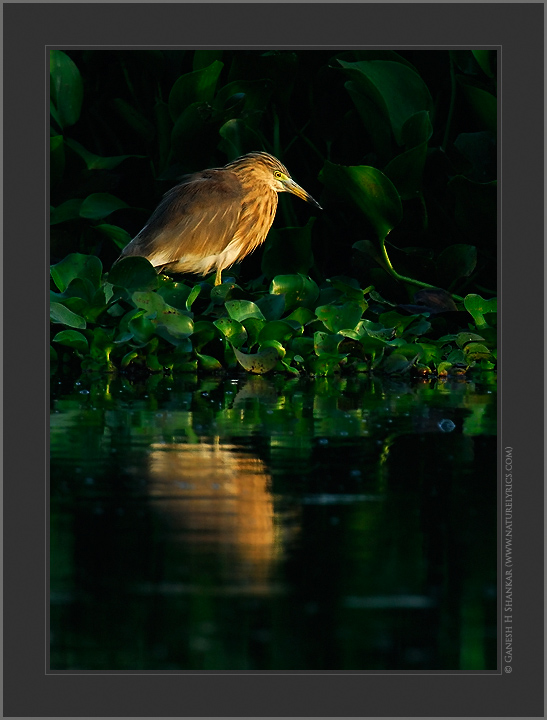 Indian Pond Heron in the Morning | Fine Art | Creative & Artistic Nature Photography | Copyright © 1993-2016 Ganesh H. Shankar