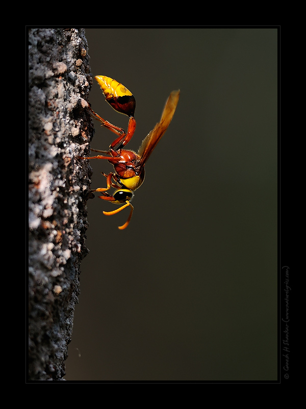 Potter Wasp on its nest, Western Ghats, India | Fine Art | Creative & Artistic Nature Photography | Copyright © 1993-2017 Ganesh H. Shankar