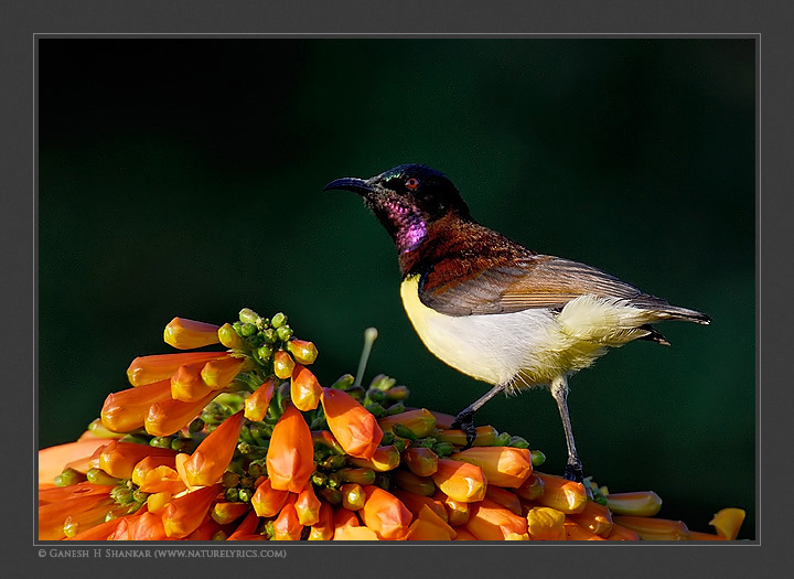 Purple Rumped Sunbird | Fine Art | Creative & Artistic Nature Photography | Copyright © 1993-2017 Ganesh H. Shankar
