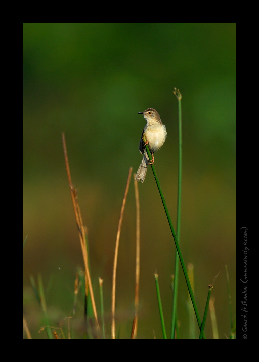 Grey Breasted Prinia | Prinia Hodgsonii | Fine Art | Creative & Artistic Nature Photography | Copyright © 1993-2017 Ganesh H. Shankar