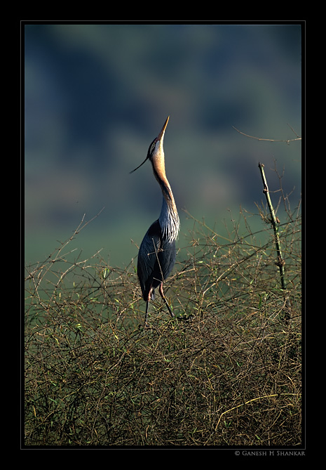 Purple Heron Display | Fine Art | Creative & Artistic Nature Photography | Copyright © 1993-2017 Ganesh H. Shankar