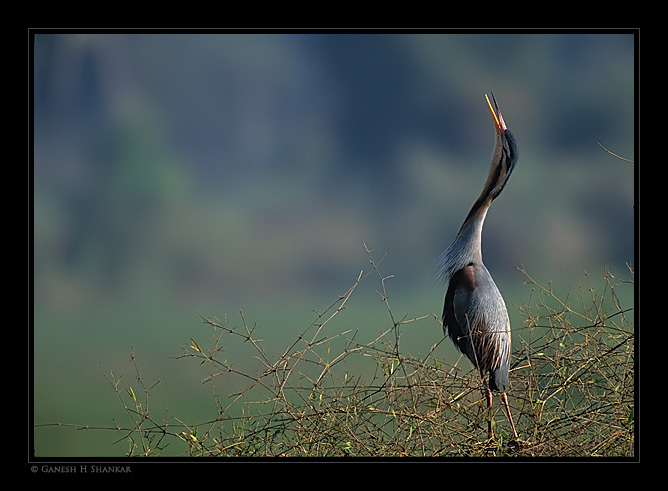 Purple Heron | Fine Art | Creative & Artistic Nature Photography | Copyright © 1993-2017 Ganesh H. Shankar