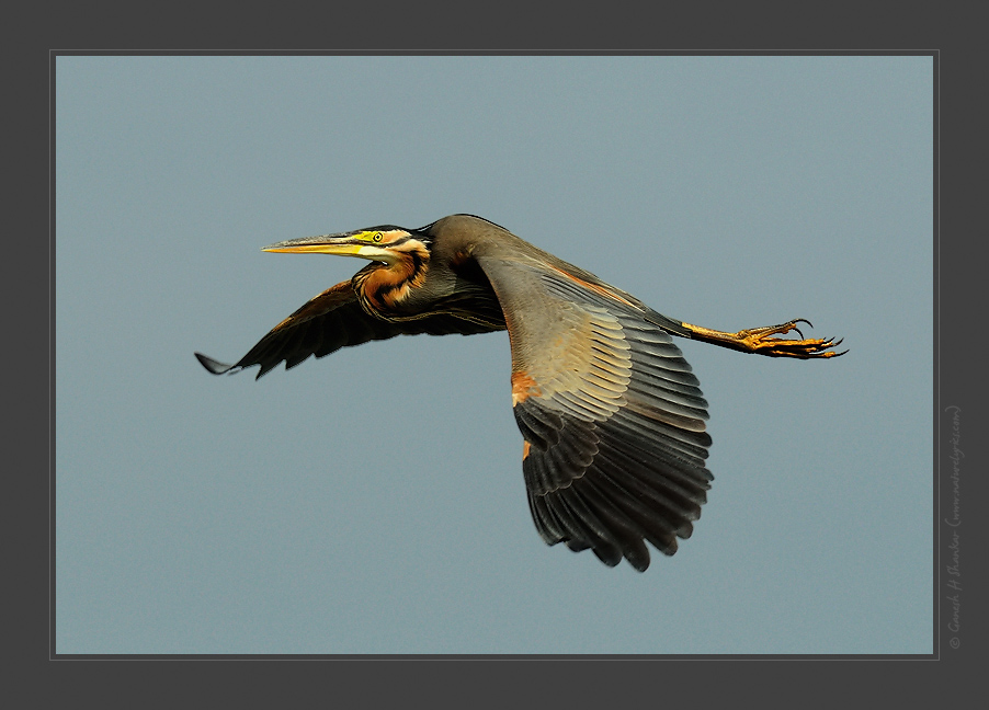 Purple Heron in Flight | Fine Art | Creative & Artistic Nature Photography | Copyright © 1993-2017 Ganesh H. Shankar