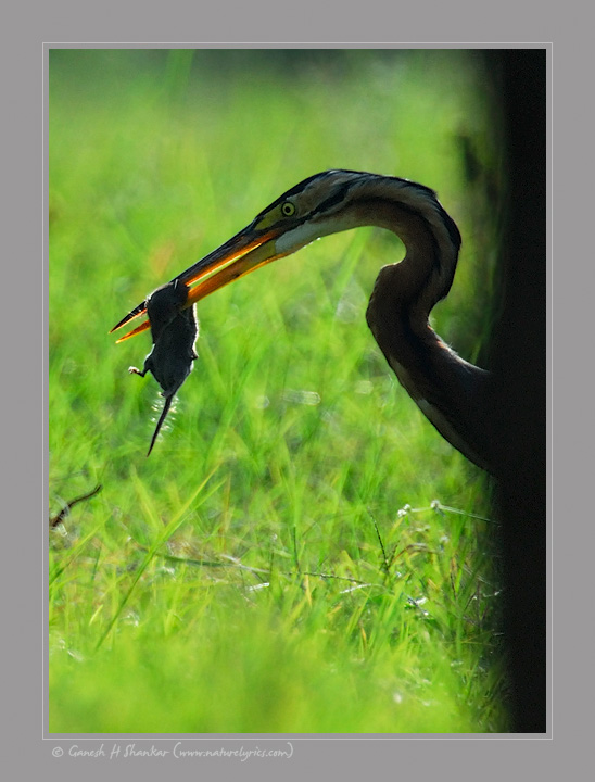 Purple Heron with Rat | Fine Art | Creative & Artistic Nature Photography | Copyright © 1993-2016 Ganesh H. Shankar