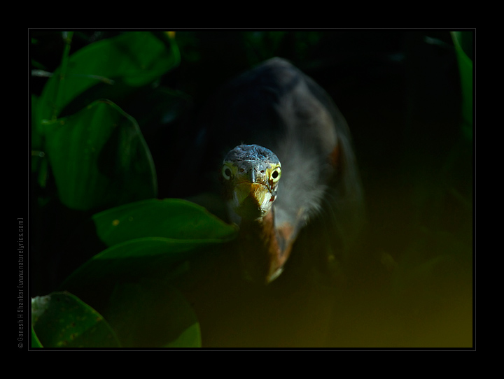 Purple Heron - Look  | Fine Art | Creative & Artistic Nature Photography | Copyright © 1993-2017 Ganesh H. Shankar