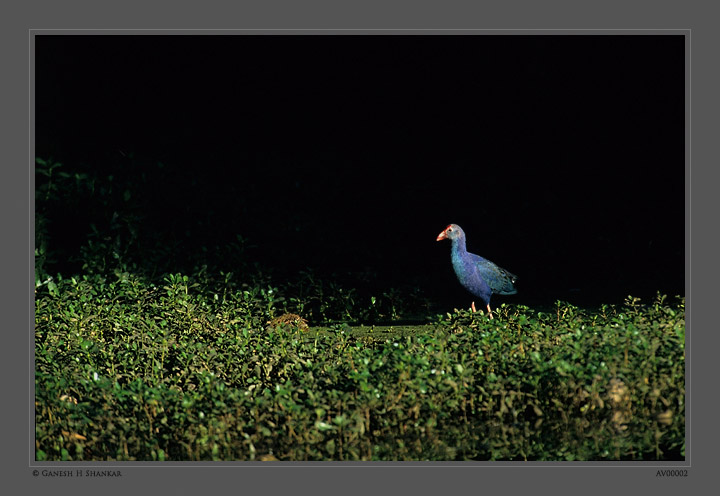 Purple Swamphen | Fine Art | Creative & Artistic Nature Photography | Copyright © 1993-2017 Ganesh H. Shankar