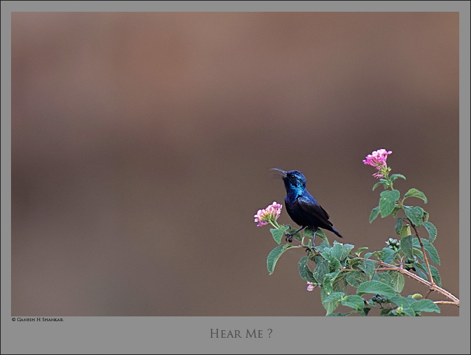 Purple Sunbird | Fine Art | Creative & Artistic Nature Photography | Copyright © 1993-2017 Ganesh H. Shankar