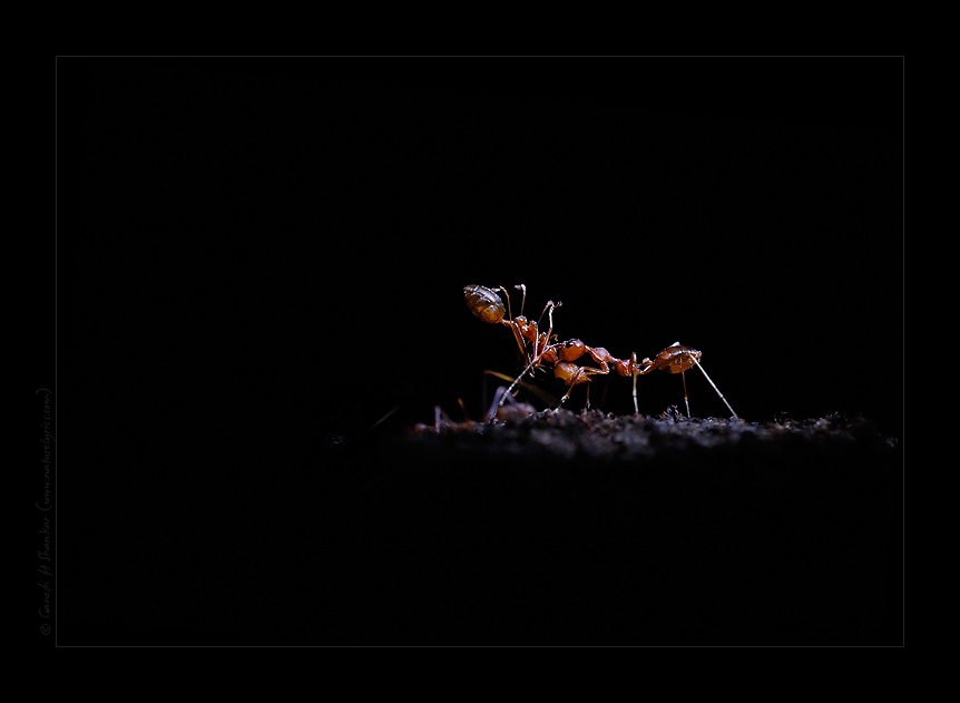 Red Ant at Night, Western Ghats | Fine Art | Creative & Artistic Nature Photography | Copyright © 1993-2017 Ganesh H. Shankar