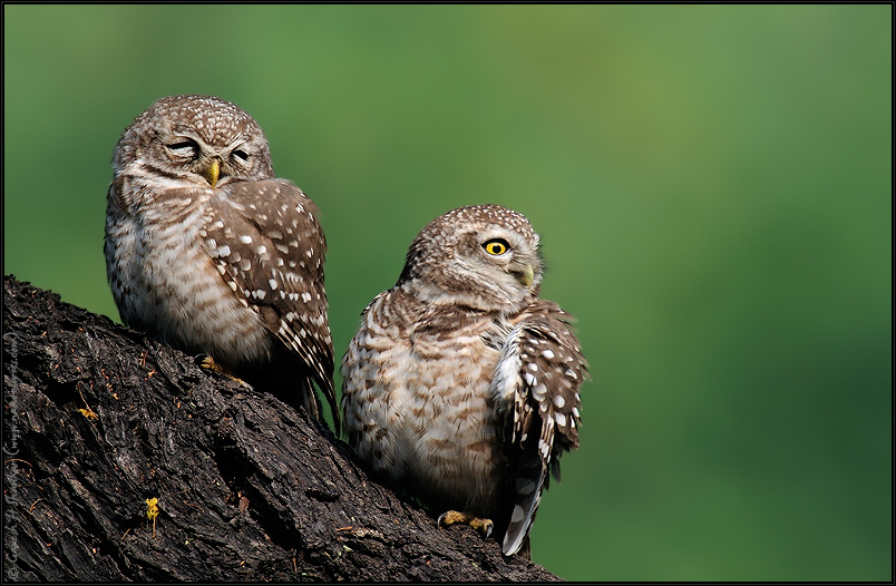 Spotted Owlets - Relaxed and Alert | Fine Art | Creative & Artistic Nature Photography | Copyright © 1993-2017 Ganesh H. Shankar
