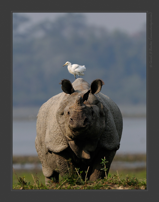 Mindian One Horned Rhino, Kaziranga National Park, India. | Fine Art | Creative & Artistic Nature Photography | Copyright © 1993-2016 Ganesh H. Shankar