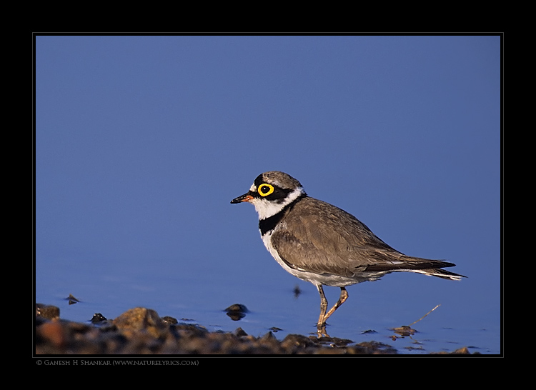 Little Ringed Plover | Fine Art | Creative & Artistic Nature Photography | Copyright © 1993-2017 Ganesh H. Shankar