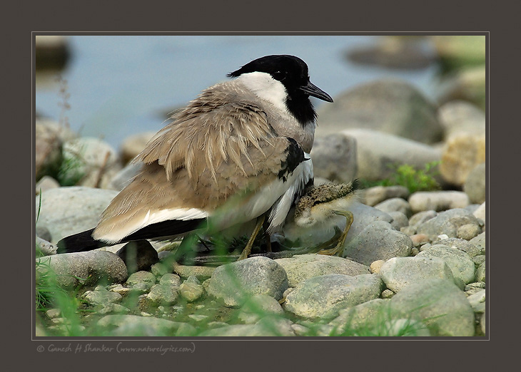 River Lapwing | Fine Art | Creative & Artistic Nature Photography | Copyright © 1993-2017 Ganesh H. Shankar