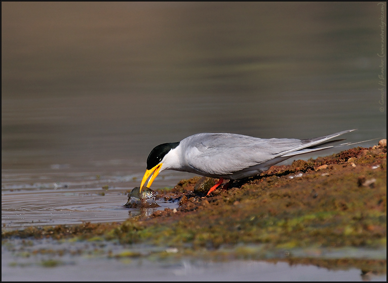 River Tern Cleaning Fish  | Fine Art | Creative & Artistic Nature Photography | Copyright © 1993-2016 Ganesh H. Shankar