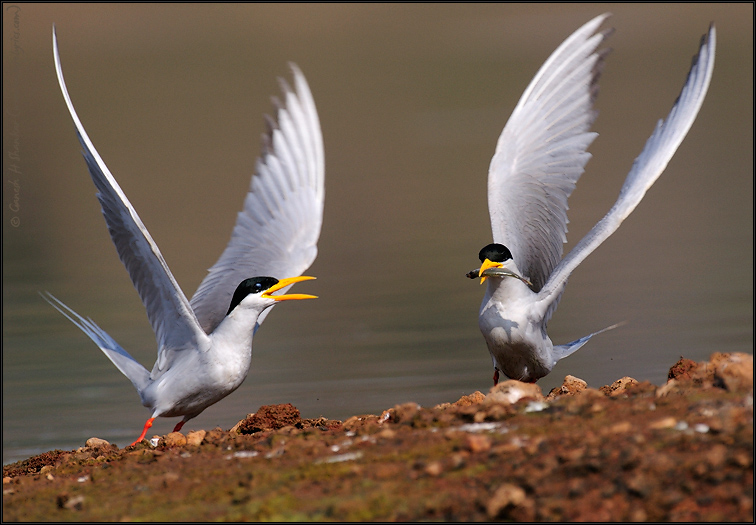 River Tern Courtship Feeding | Fine Art | Creative & Artistic Nature Photography | Copyright © 1993-2017 Ganesh H. Shankar
