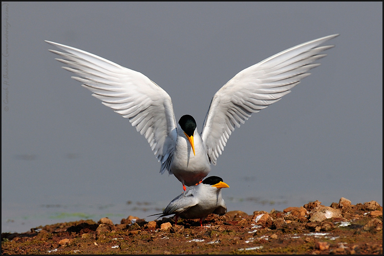 River Tern Courtship Display | Fine Art | Creative & Artistic Nature Photography | Copyright © 1993-2017 Ganesh H. Shankar