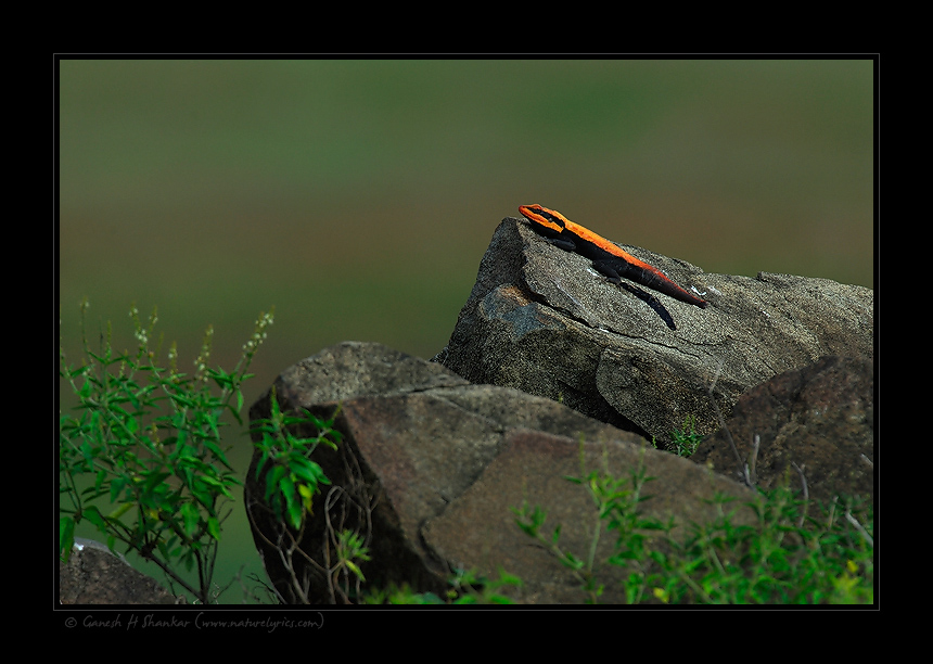 Rock Agama's World | Fine Art | Creative & Artistic Nature Photography | Copyright © 1993-2017 Ganesh H. Shankar
