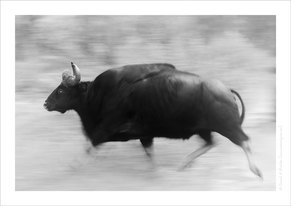 Gaur - Running | Fine Art | Creative & Artistic Nature Photography | Copyright © 1993-2017 Ganesh H. Shankar