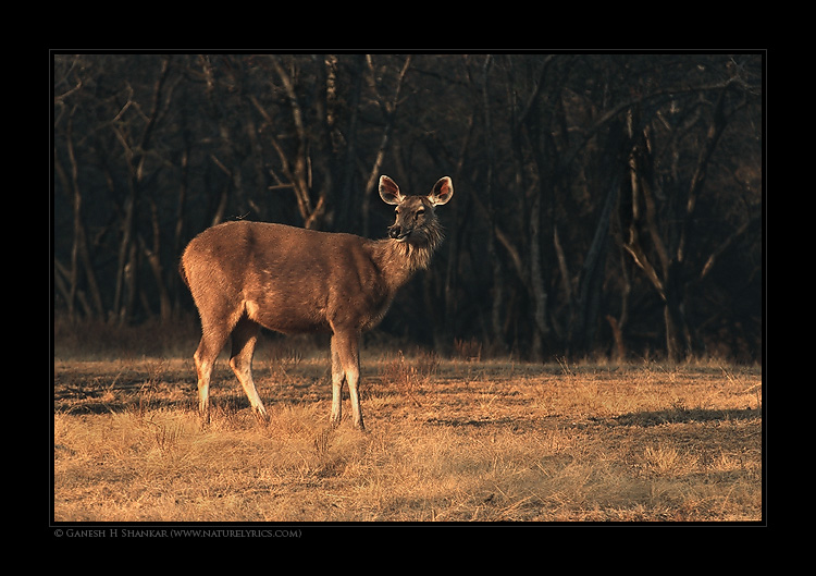 Sambar | Fine Art | Creative & Artistic Nature Photography | Copyright © 1993-2017 Ganesh H. Shankar