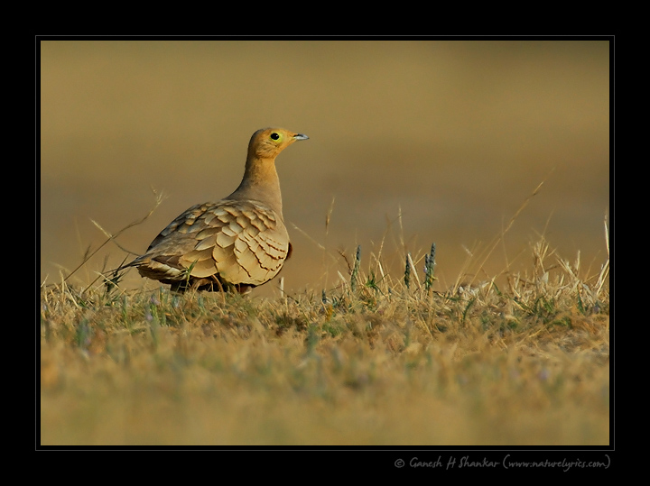 Sand Grouse | Fine Art | Creative & Artistic Nature Photography | Copyright © 1993-2017 Ganesh H. Shankar