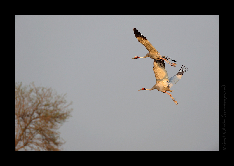 Sarus Cranes in Flight | Fine Art | Creative & Artistic Nature Photography | Copyright © 1993-2017 Ganesh H. Shankar