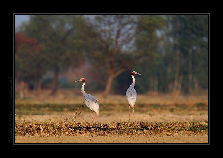 Sarus Cranes in Field | Fine Art | Creative & Artistic Nature Photography | Copyright © 1993-2017 Ganesh H. Shankar