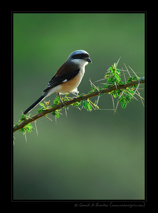 Shrike  | Fine Art | Creative & Artistic Nature Photography | Copyright © 1993-2016 Ganesh H. Shankar