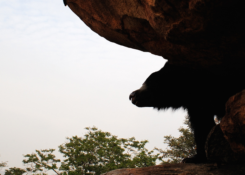 Sloth Bear - a perspectiveLook | Fine Art | Creative & Artistic Nature Photography | Copyright © 1993-2017 Ganesh H. Shankar