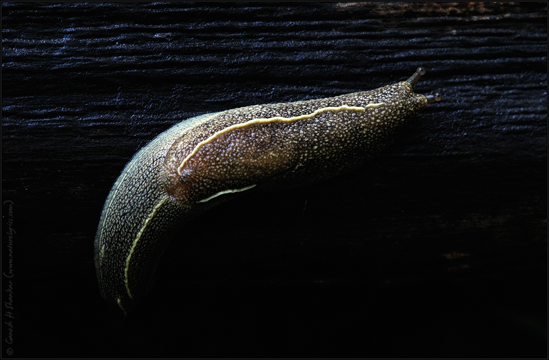 Slug | Fine Art | Creative & Artistic Nature Photography | Copyright © 1993-2017 Ganesh H. Shankar