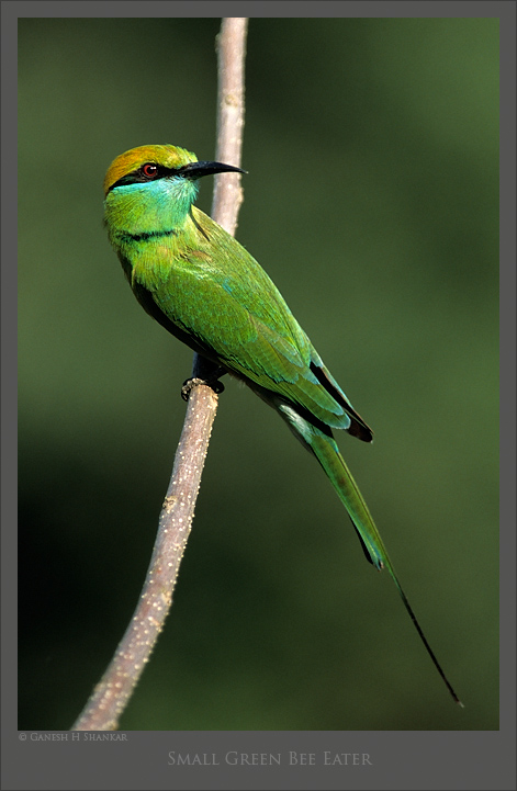 Green Bee Eater | Fine Art | Creative & Artistic Nature Photography | Copyright © 1993-2017 Ganesh H. Shankar