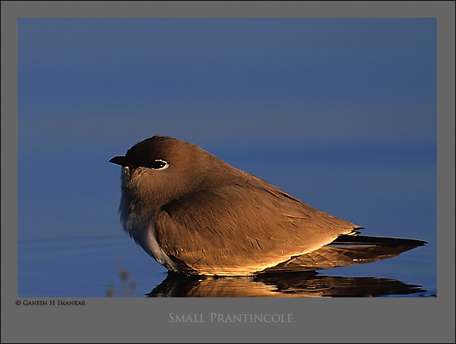 Small Pratincole | Fine Art | Creative & Artistic Nature Photography | Copyright © 1993-2017 Ganesh H. Shankar