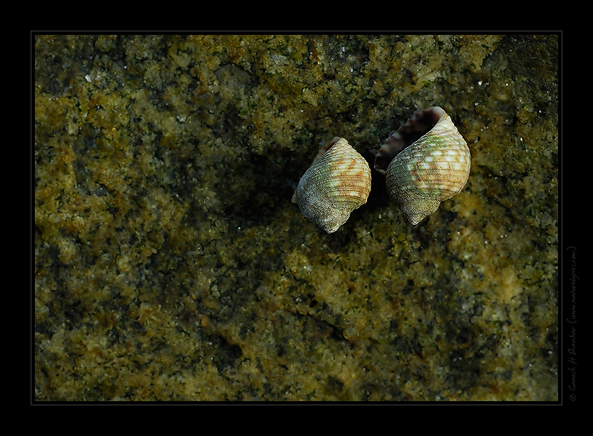 Conch Shells on a Rock, Arabian Sea, Byndoor, India | Fine Art | Creative & Artistic Nature Photography | Copyright © 1993-2017 Ganesh H. Shankar