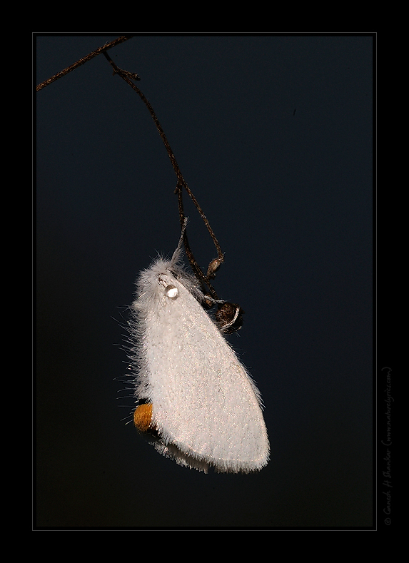 Some white moth with a single dew | Fine Art | Creative & Artistic Nature Photography | Copyright © 1993-2016 Ganesh H. Shankar