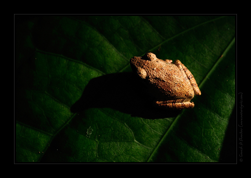 Some Tree Frog | Fine Art | Creative & Artistic Nature Photography | Copyright © 1993-2017 Ganesh H. Shankar
