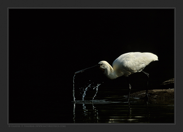 Spoonbill Drinking Water | Fine Art | Creative & Artistic Nature Photography | Copyright © 1993-2017 Ganesh H. Shankar