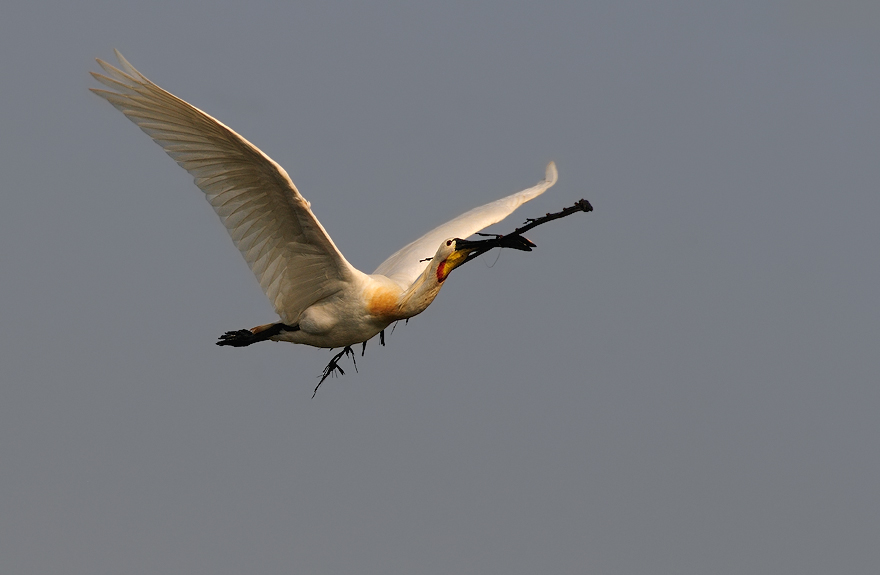 Spoonbill in flight in flight carrying nesting material | Fine Art | Creative & Artistic Nature Photography | Copyright © 1993-2016 Ganesh H. Shankar