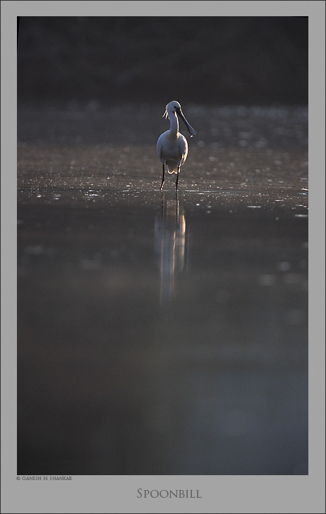 Spoonbill Scape | Fine Art | Creative & Artistic Nature Photography | Copyright © 1993-2017 Ganesh H. Shankar