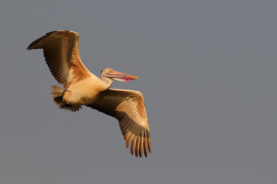 SPotbilled pelican in flight | Fine Art | Creative & Artistic Nature Photography | Copyright © 1993-2017 Ganesh H. Shankar