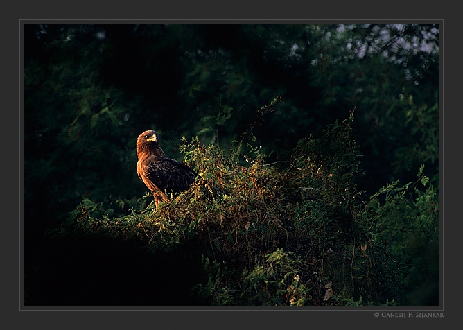 Spotted eagle in spot light | Fine Art | Creative & Artistic Nature Photography | Copyright © 1993-2017 Ganesh H. Shankar